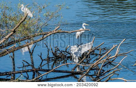 Three Great White Egrets Sharing A Pile Of Drift Wood