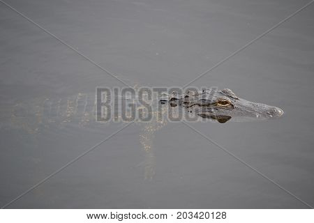 the American alligator is  large reptile  found in the marshes and swamps of the American South