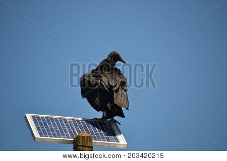 black vulture perched on a solar panel