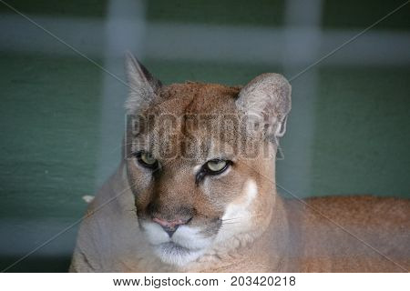 Florida panther is a cougar that lives in forests and swamps of southern Florida