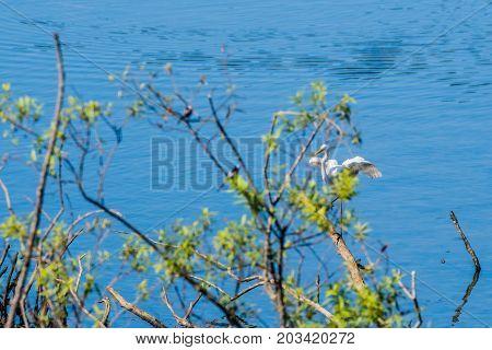Great White Egret Landing A Pile Of Drift Wood