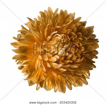 Orange aster flower isolated on white background with clipping path. Closeup no shadows. Nature.