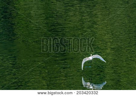 White Egret Flying Gracefully Over A Lake