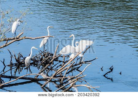 Four Great White Egrets Sharing A Pile Of Drift Wood