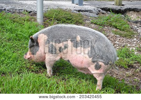 pink and grey potbellied pig searching for food