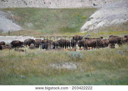 large herd of wild buffalo (north American bison) roam free in a national park