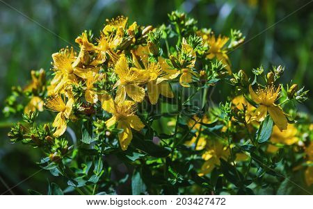 Yellow flowers of the medicinal plant Saint John's wort - Hypericum Perforatum - in bloom on a summer day closeup. Selective focus.