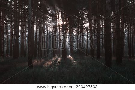 Sunrays shining through the trees in the dark pine forest. Selective focus toned.