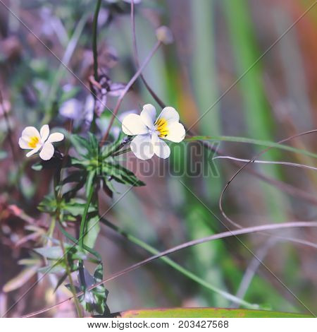 Flowers of blossoming field pansy closeup a medicinal plant species of violet - Viola arvensis. Selective focus.