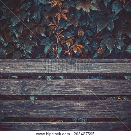 Grunge vintage colored autumn background with space for copy - wet leaves of wild grapes with dew over planks of old wood.