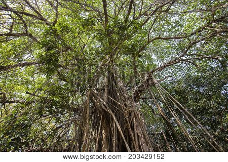 Old ancient Banyan tree with long roots that start at the top of the branches to the ground. Goa India