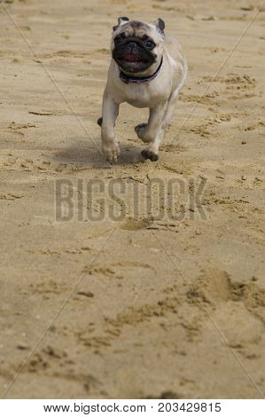 Dog pug walks on the sandy beach near the river.