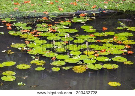 Water lily flower and green leaves in pond. Lotus flower in island Bali Indonesia. Close up