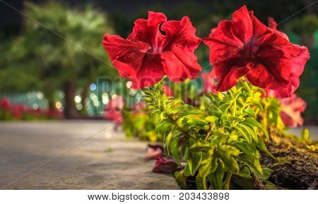 KUWAIT - DECEMBER 16, 2016 - Rows of red flowers in front of palm trees in the new park Al Shaheed on December 16, 2016, in Kuwait.