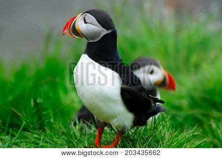 Puffins  The East Fjords Region