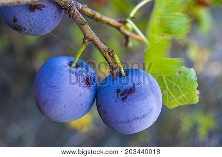 purple plums ripe in the plum tree, ripe purple plums, natural organic plums are harvested