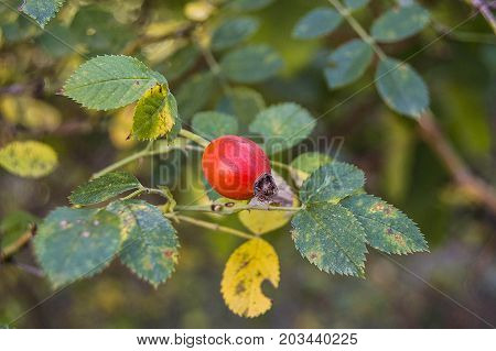rosehip and ripe fruits, pictures of rosehip plants c vitamin store rosehip fruit,