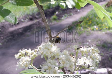 a bumblebee pollinating blooming mountain ash tree