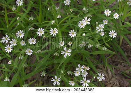 Stellaria Holostea White Flowers Forest Pattern Closeup