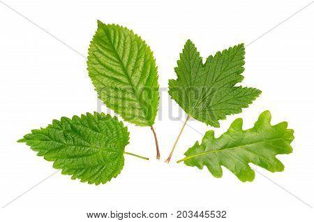 Set of leaves: nettle, oak, cherry-tree, currant