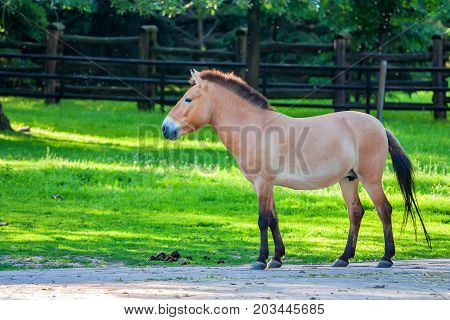 Beautiful endangered Przewalski's horse standing in zoo