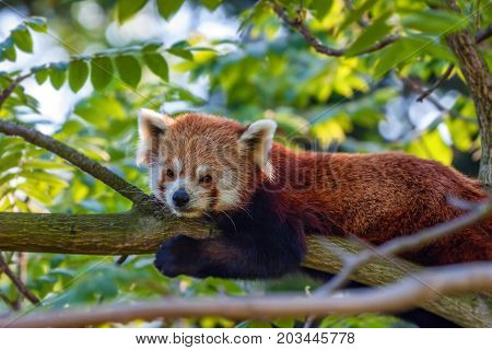 Beautiful Red panda or Ailurus fulgens resting on a tree branch