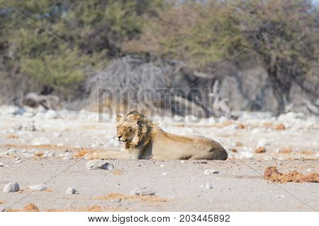 Young Male Lazy Lion Lying Down On The Ground And Looking At Camera. Zebra (defocused) Walking Undis