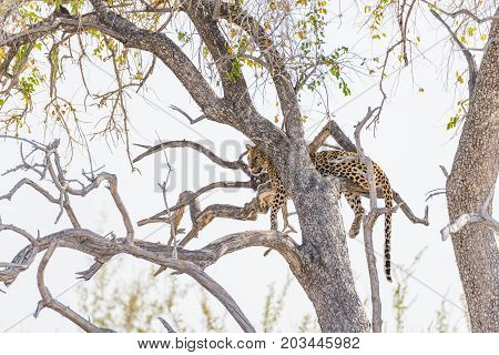 Leopard Perching From Acacia Tree Branch Against White Sky. Wildlife Safari In The Etosha National P