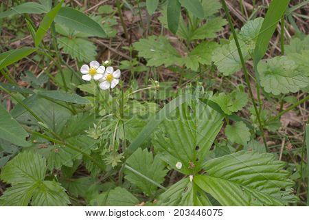 Wild Strawberries White Flowers Hides In Thick Grass