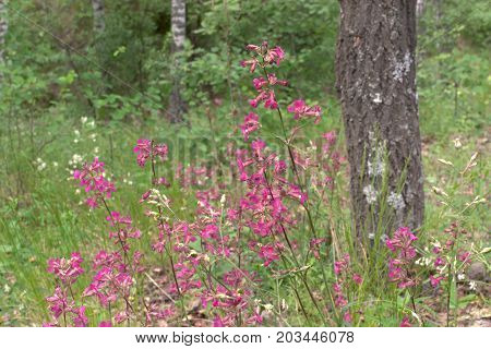 Clammy Campion Pink Flowers On The Deciduous Forest Background