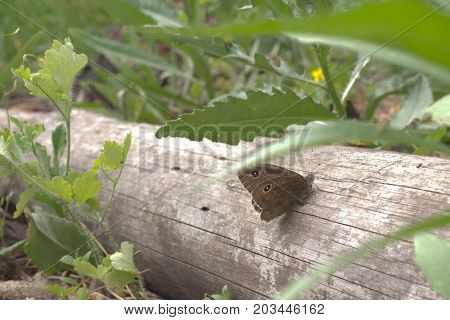 Lasiommata Petropolitana Butterfly With Folded Wings Sits Quietly On A Wood Trunk