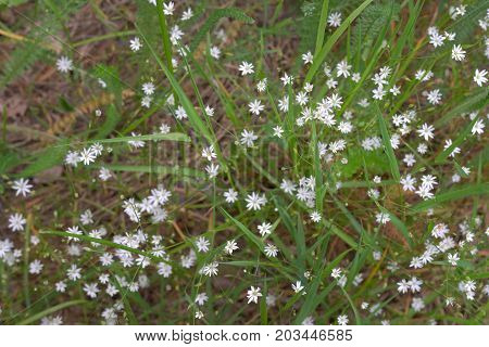 Stellaria Holostea White Flowers Live Pattern On The Sunny Meadow