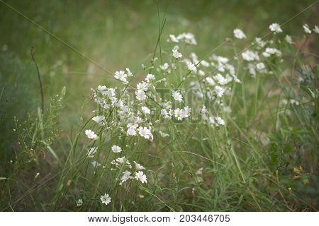 Stellaria holostea white flowers on the herbal meadow vignette