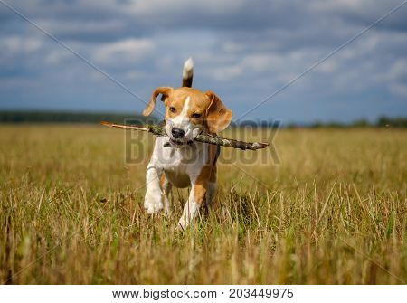 Beagle dog fun runs and plays with a stick on a walk