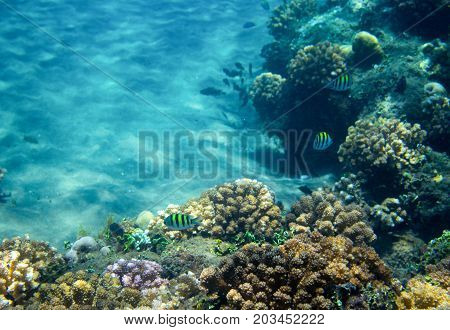 Sea fish school in coral reef. Tropical seashore inhabitants underwater photo. Coral reef animal. Warm sea nature. Colorful sea fish and corals. Undersea view of marine life. Coral reef landscape