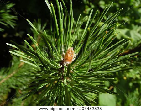 pine buds, pines resin, green needles, nature