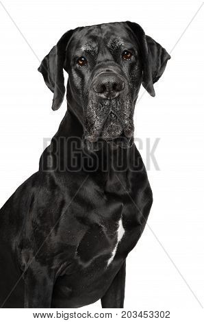 Great Dane Isolated On White