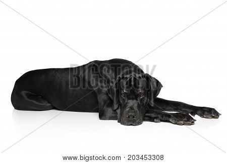 Great Dane lying on a white background