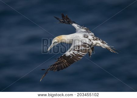 Gannet, Juvenile, Flying Over The Sea, Close Up