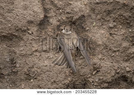 Sand Martin resting on sandbank, close up
