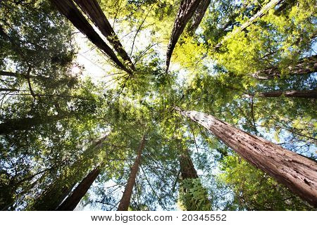 Looking up in Redwood forest