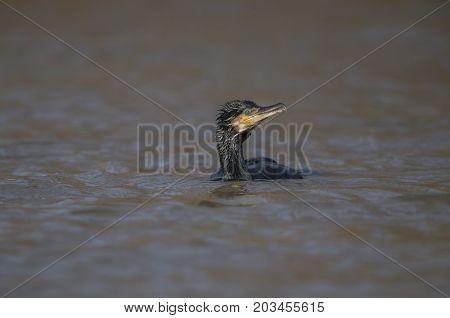 Cormorant Swimming On A Pond