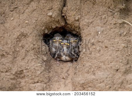 Sand Martins In Their Nest In A Sandbank