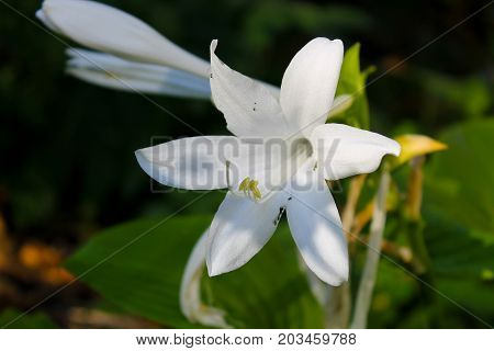 White flowers of hosta in the garden