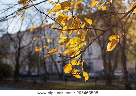 Bright yellow sunlit autumn leaves fluttering in wind  foreground on background of silhouettes of bare trees and houses.