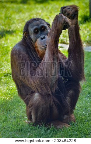 Monkey Orang-Outang walking in a green meadow in an animal park