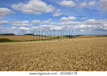 Valley With Golden Wheat