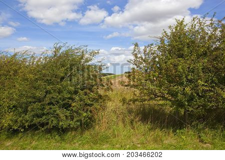 Hawthorn Hedgerows With Berries