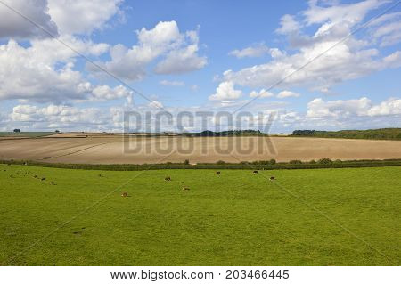 Hereford Cattle And Meadow
