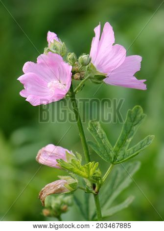Pink flowers of musk mallow (Malva moschata) flowering in garden